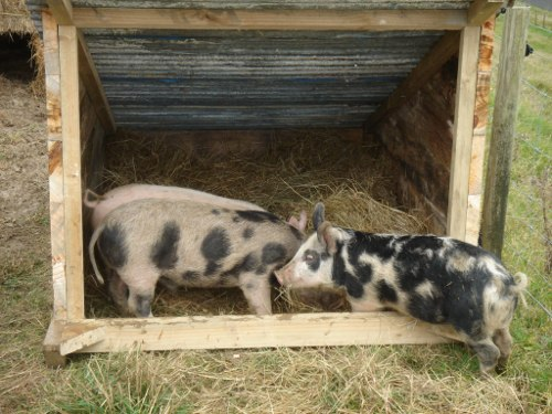 pig_house_occupied
